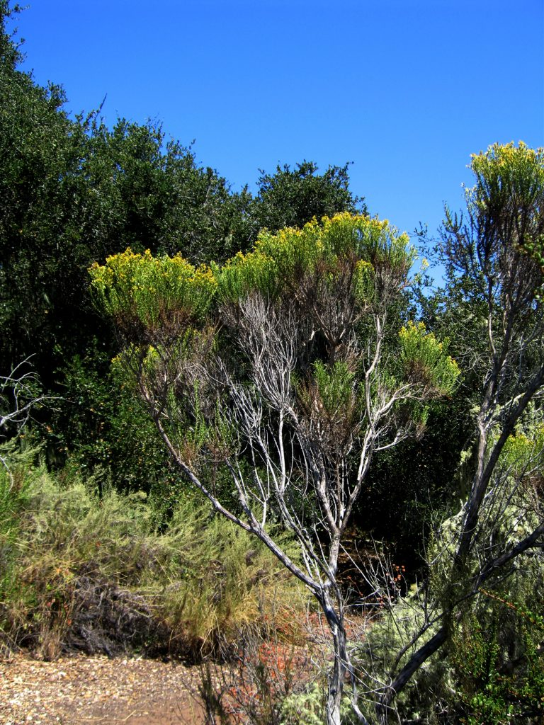 Coyote Brush… Relief from Poison Oak Itch a