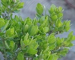 Coyote Brush… Relief from Poison Oak Itch